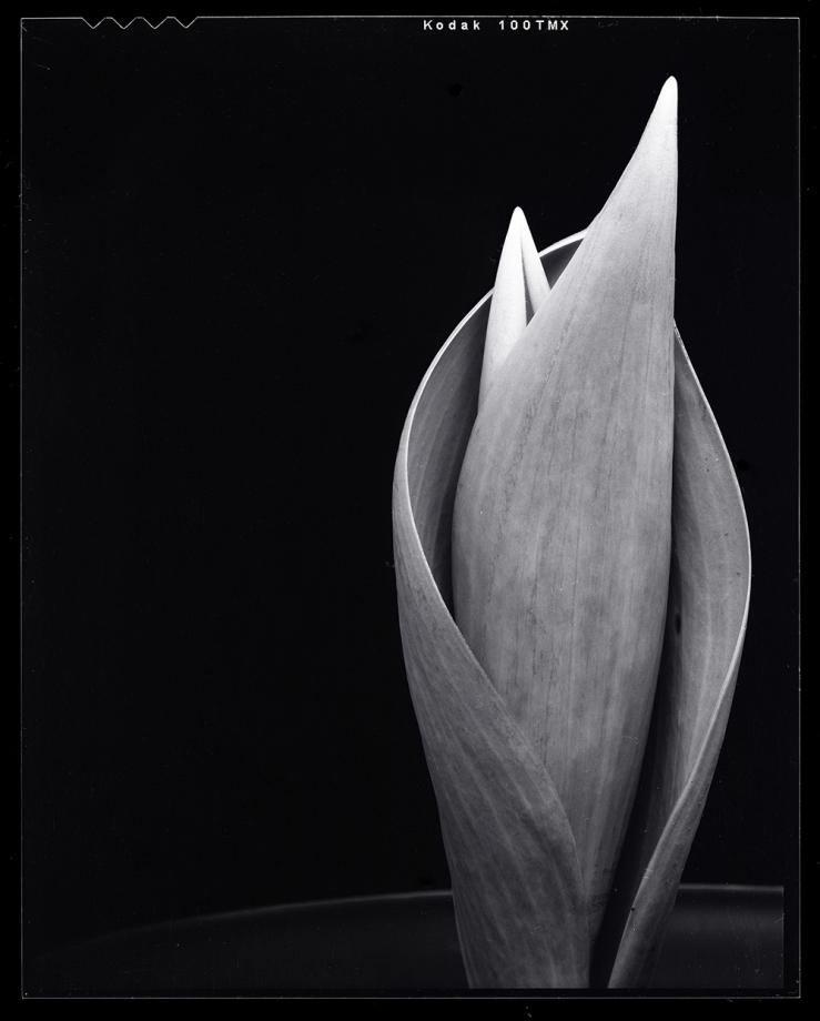 tulip_leaf_web